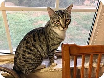 Domestic Mediumhair Cat for adoption in Wichita, Kansas - Mummy