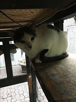Calico Cat for adoption in Lauderhill, Florida - Patches
