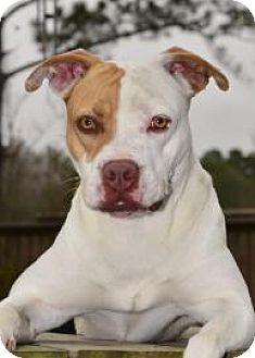 Pit Bull Terrier Mix Dog for adoption in Middleburg, Florida - Bellflower
