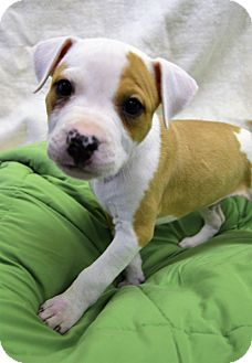 American Pit Bull Terrier/Pit Bull Terrier Mix Puppy for adoption in Michigan City, Indiana - Dancer