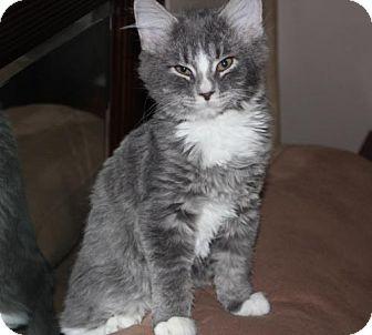 Domestic Mediumhair Kitten for adoption in Springfield, Oregon - Quicksilver