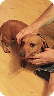 Dachshund Dog for adoption in Sanford, Florida - Maggie Rose