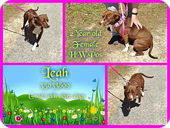 Bulldog/Labrador Retriever Mix Dog for adoption in Kenansville, North Carolina - LEAH