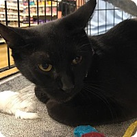 Domestic Shorthair Cat for adoption in Sacramento, California - Penny