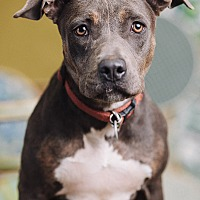 Adopt A Pet :: Darby - Portland, OR