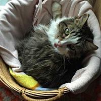 Adopt A Pet :: Nova (FeLV+) - Harleysville, PA