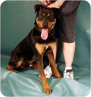 Rottweiler/German Shepherd Dog Mix Dog for adoption in Berkeley, California - The Rock