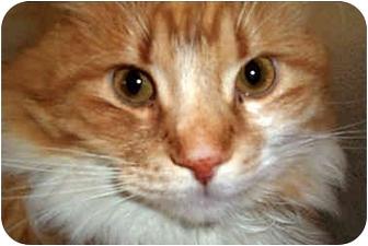 Domestic Longhair Cat for adoption in Yorba Linda, California - Oscar