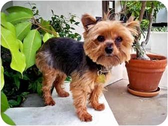 Yorkie, Yorkshire Terrier Dog for adoption in Los Angeles, California - MIDGET