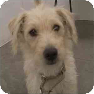 Terrier (Unknown Type, Small) Mix Dog for adoption in Phoenix, Arizona - Paige