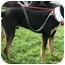 Photo 2 - Doberman Pinscher/Rottweiler Mix Dog for adoption in Sacramento, California - Trooper loving