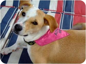 Basenji Mix Dog for adoption in Miami-Dade and Naples/Ft Myers areas, Florida - SPARKY