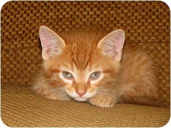 Domestic Shorthair Kitten for adoption in Ocala, Florida - Hobo
