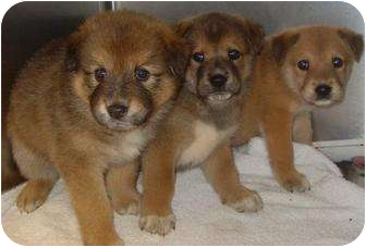 Shiba Inu/Shepherd (Unknown Type) Mix Puppy for adoption in Bel Air, Maryland - Fluffy