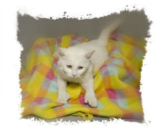 Domestic Shorthair Cat for adoption in Crumpler, North Carolina - Thumbelina