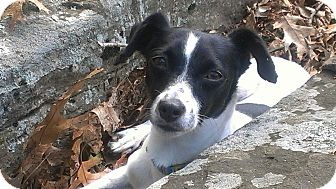 Rat Terrier Mix Dog for adoption in Conway, New Hampshire - Bonnie