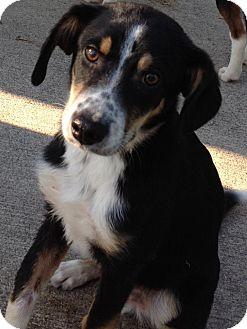 Bernese Mountain Dog Mix Puppy for adoption in East Hartford, Connecticut - Jake