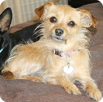Terrier (Unknown Type, Small)/Chihuahua Mix Dog for adoption in Bellflower, California - Gypsy-5 lbs
