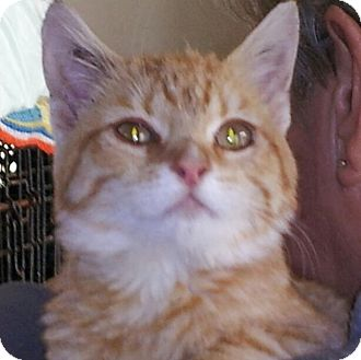 Domestic Shorthair Kitten for adoption in Daleville, Alabama - Slice