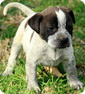 Boxer/Australian Cattle Dog Mix Puppy for adoption in Staunton, Virginia - Carter