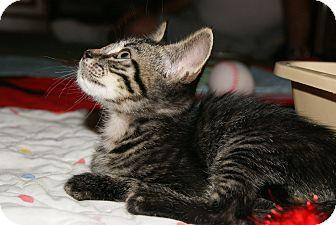 Domestic Shorthair Kitten for adoption in Trevose, Pennsylvania - Ears