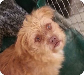 Cairn Terrier Mix Dog for adoption in Russellville, Kentucky - Ozzie