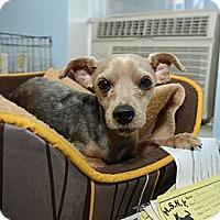 Adopt A Pet :: Phibbs - New York, NY