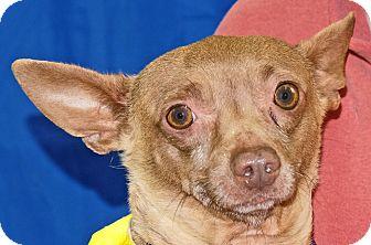Chihuahua Mix Dog for adoption in Spokane, Washington - Chucko