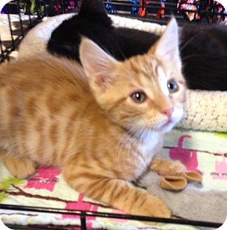 Domestic Shorthair Kitten for adoption in San Ramon, California - Pete