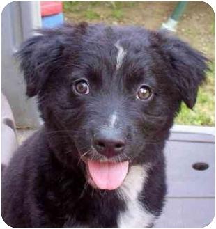 Collie/Labrador Retriever Mix Puppy for adoption in Windham, New Hampshire - Danny