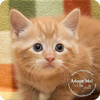 Domestic Shorthair Kitten for adoption in Troy, Ohio - Tillie
