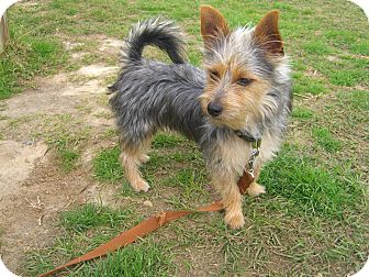 Yorkie, Yorkshire Terrier/Terrier (Unknown Type, Small) Mix Dog for adoption in Nashville, Georgia - Max