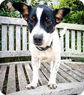 Rat Terrier Mix Puppy for adoption in Fredericksburg, Texas - Lexie
