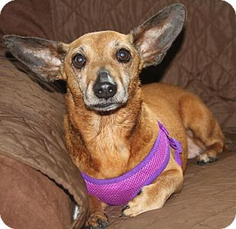 Chihuahua/Dachshund Mix Dog for adoption in Wayne, New Jersey - Rusty