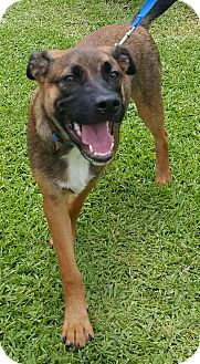 German Shepherd Dog/Blue Lacy/Texas Lacy Mix Puppy for adoption in Houston, Texas - Rocco