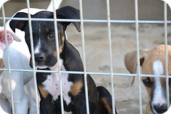 Boxer/Labrador Retriever Mix Puppy for adoption in Richmond, Virginia - Mitch
