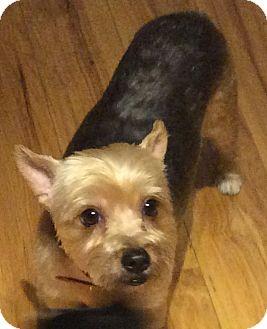 Yorkie, Yorkshire Terrier/Maltese Mix Dog for adoption in Oakland, Florida - Mia