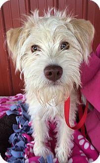 Schnauzer (Miniature) Mix Dog for adoption in Kansas city, Missouri - Sunny