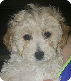 Maltese/Poodle (Miniature) Mix Puppy for adoption in Los Angeles, California - Timmy
