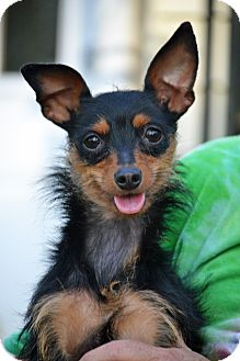 Miniature Pinscher/Yorkie, Yorkshire Terrier Mix Dog for adoption in Bedminster, New Jersey - Ally