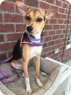 Beagle Mix Dog for adoption in Jacksonville, North Carolina - Star