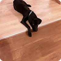 Labrador Retriever Dog for adoption in Rockville, Maryland - Buddy