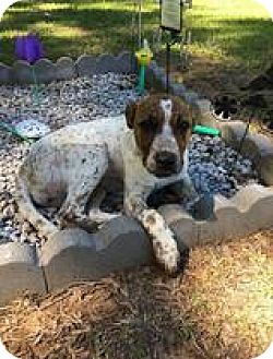 Labrador Retriever/Pointer Mix Puppy for adoption in Chichester, New Hampshire - Randy