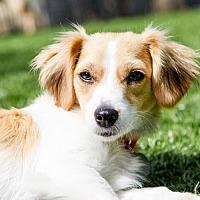 Adopt A Pet :: Moxi - Malibu, CA