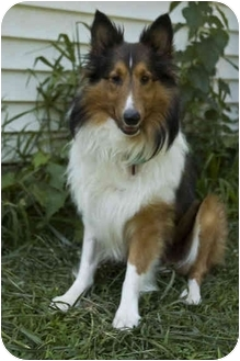 Sheltie, Shetland Sheepdog Dog for adoption in Westfield, New York - Cole