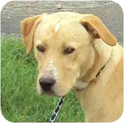 Labrador Retriever Mix Dog for adoption in Homer, New York - Bubba