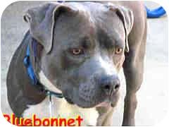 American Pit Bull Terrier Dog for adoption in Vista, California - Bluebonnet