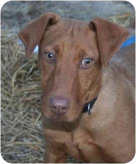 Vizsla Mix Puppy for adoption in Spring Valley, New York - max