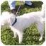 Photo 2 - Jack Russell Terrier Dog for adoption in Phoenix, Arizona - ARIES