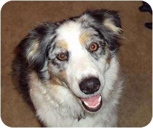 Australian Shepherd Mix Dog for adoption in Portsmouth, Rhode Island - Brisby
